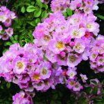 Illustration Roses : 6 variétés coup de cœur à planter