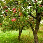 Illustration Quels fruitiers installer dans mon jardin ?
